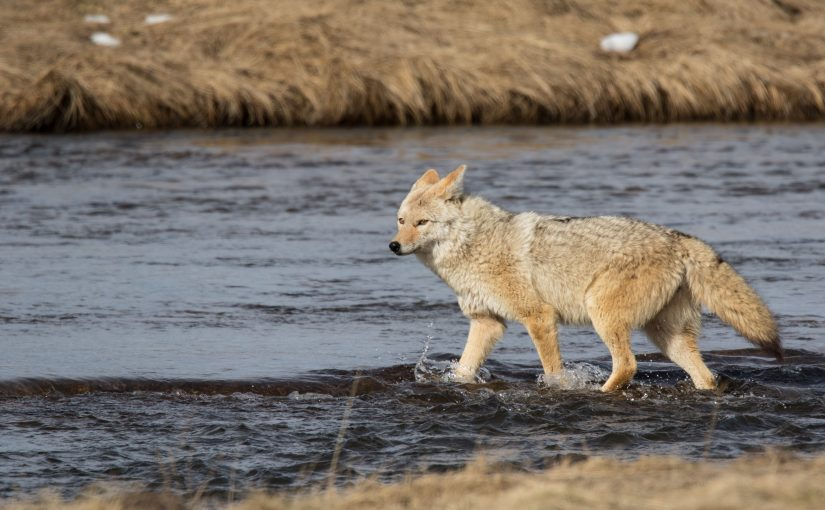 Yellowstone February 12 – 15: Coyotes Rule the Park