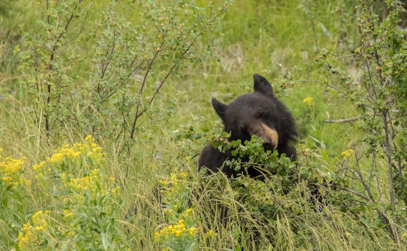 Yellowstone July 11 – 13: Bears