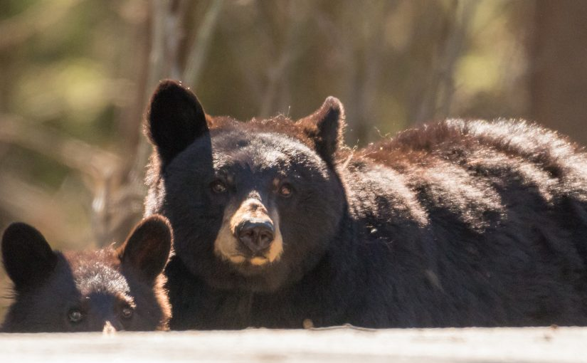Yellowstone April 29 – 30: Lamar Wildlife, Tower Bears, and Canyon Snow