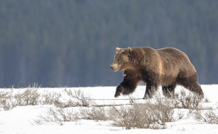 Yellowstone May 6: Hayden Valley Bear and Canyon Carcasses; Snow Report