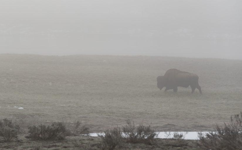Yellowstone May 20: Wapiti Wolves and Fog