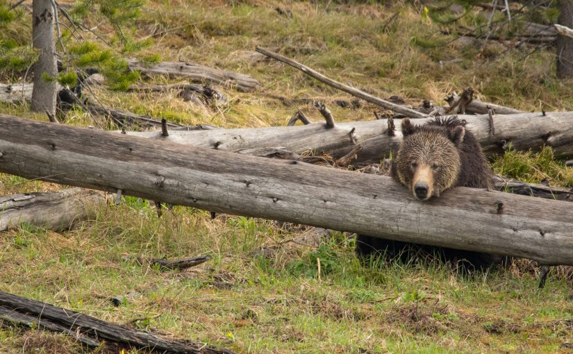 Yellowstone May 26 – 30: Just a Few Bears