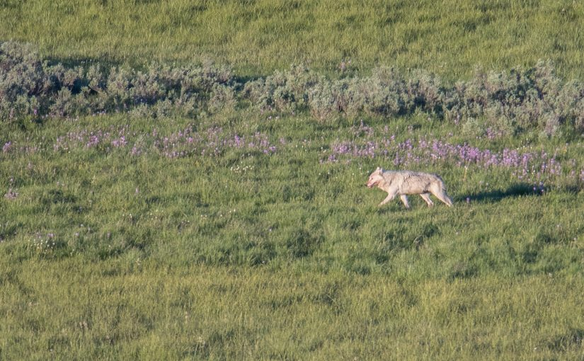 Yellowstone June 24: Wapiti Wolves and Wildflowers