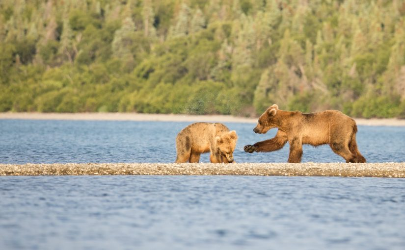 Katmai July 3 – 6: Brooks Camp